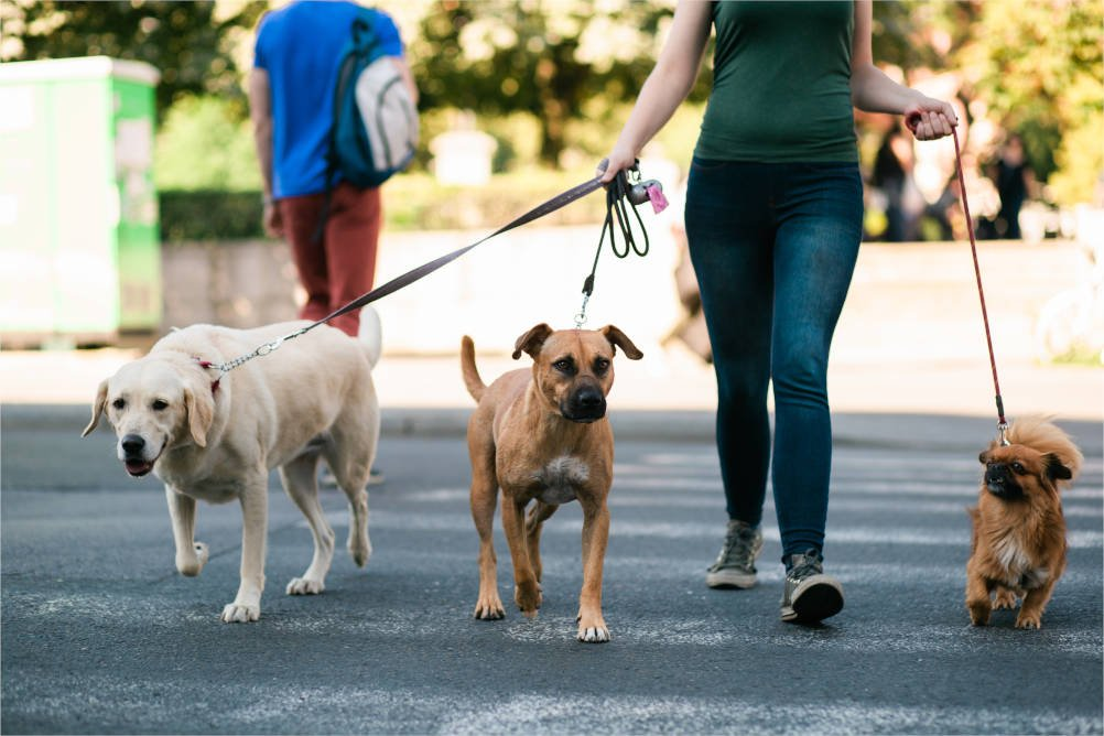 Three dogs walked safely on leashes illustrating the Dangerous Dogs Act and how to claim for compensation if you are attacked and injured by a dog